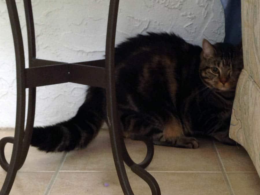 Ashton with fat tail
