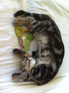 Kitten Ashton sleeps