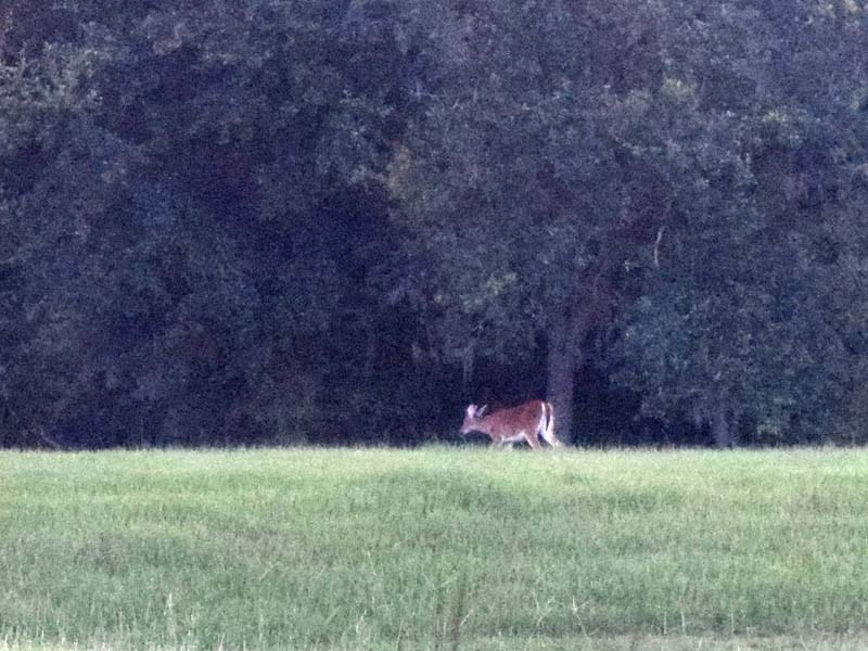 Deer_going_home_02_sm