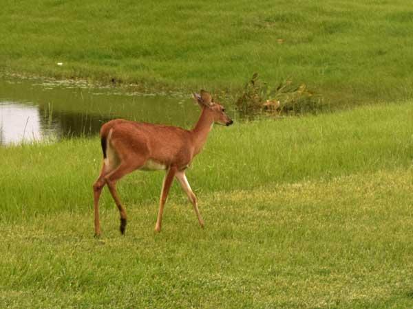Lone_deer01_sm