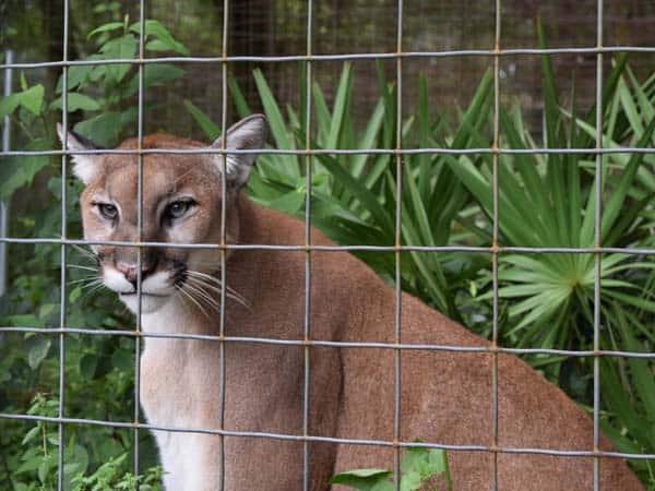 cougar01_sm