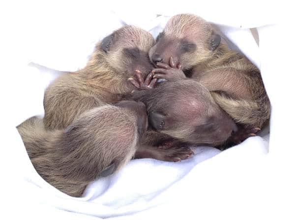 neonate raccoons
