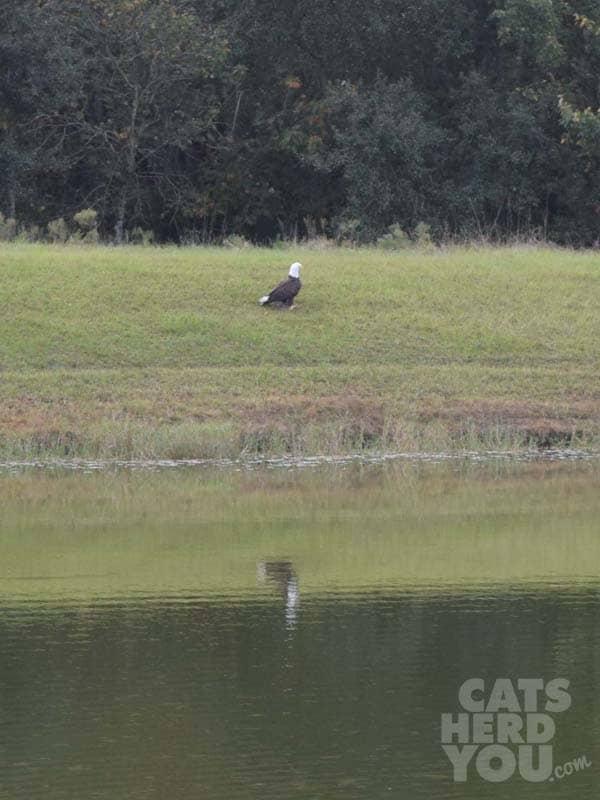 Bald_Eagle_across_the_pond_wm