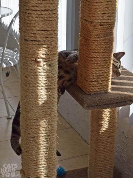 Ashton_climbing_cat_tree_02_wm