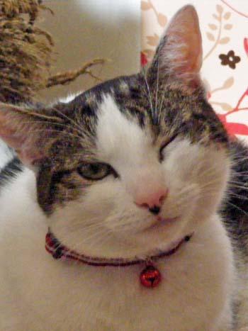 bengal kittens for sale sacramento area