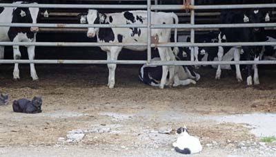 cats with cattle
