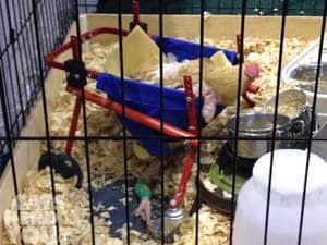 chicken_in_wheelchair_02_xs
