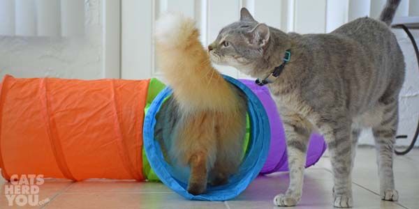 Pierre inspects Newton's tail as he enters the triple tunnel