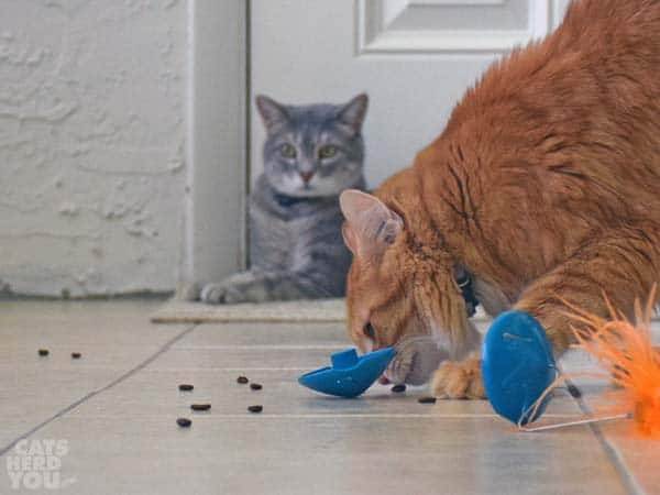 Newton eats scattered kibble from puzzle feeder