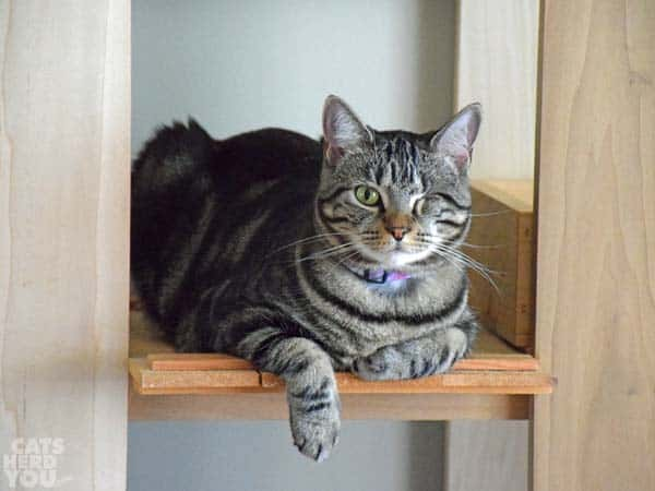 Brown tabby cat dangles one paw