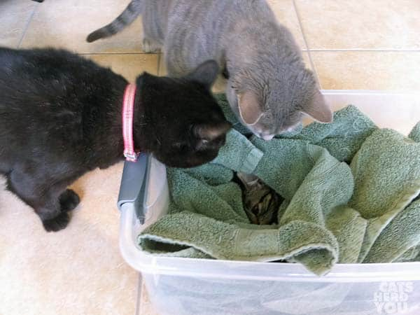 black and gray cats look at rescued kitten