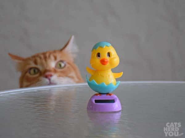 orange cat lurks behind dancing chicken
