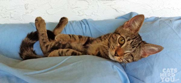 Brown tabby kitten lounges