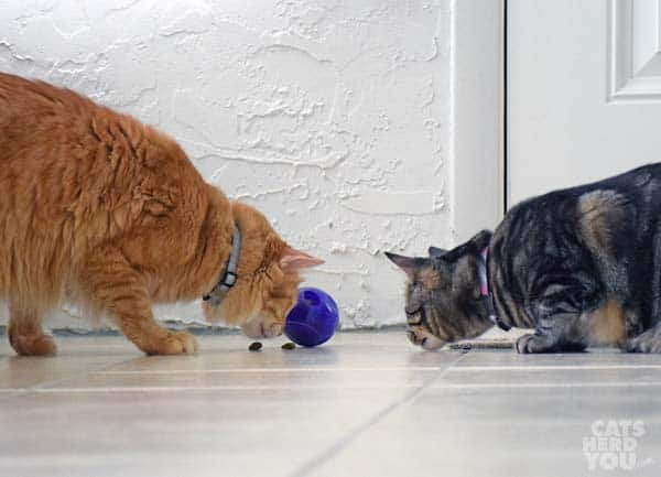 orange tabby and brown tabby with toy