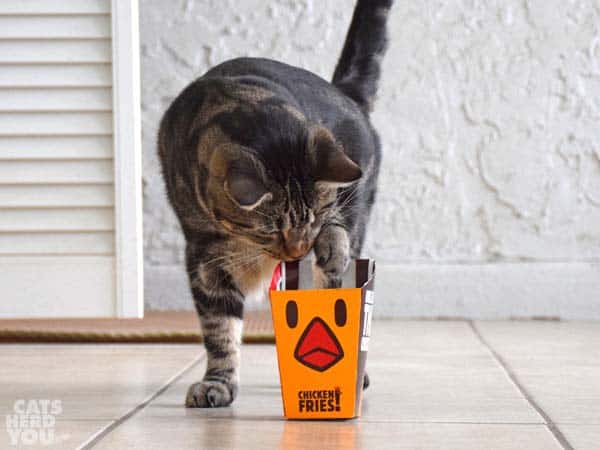 one-eyed brown tabby cat puts paw into chicken fries box