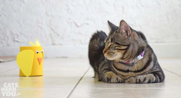 brown tabby cat looks at funny chicken