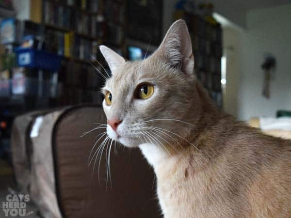 buff colored cat with orange eyes