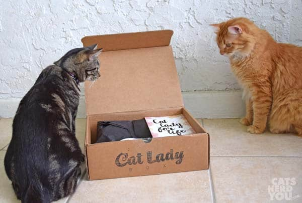 Newton and Ashton examine Catlady box, orange cat, brown tabby cat