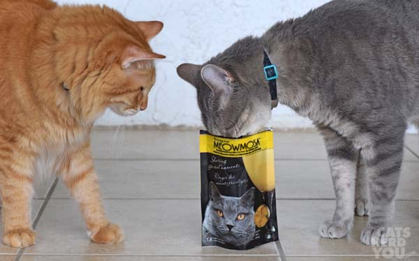 Orange tabby watches gray tabby cat stick his face into Meowmosa bag