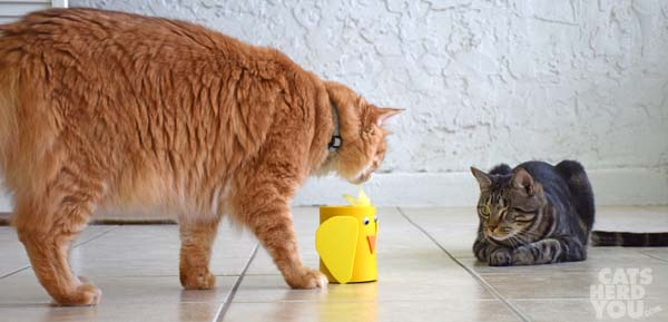 Orange tabby cat inspects funny chicken as brown tabby cat looks on