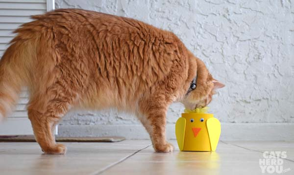 orange tabby cat inspects funny chicken