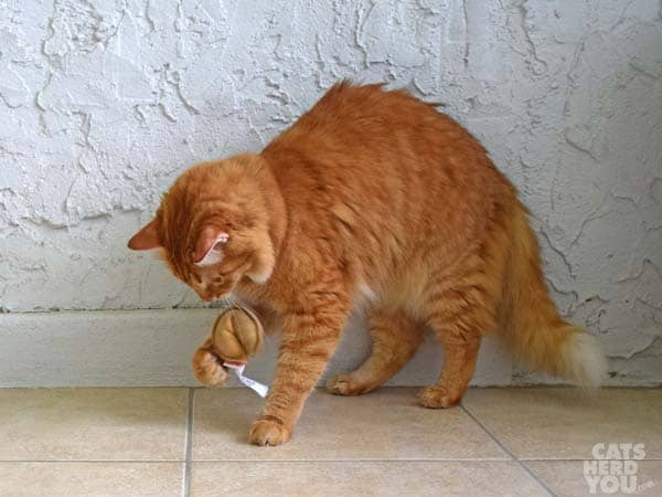 Orange tabby cat plays with fortune cookie toy