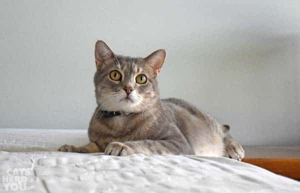 gray tabby cat looks innocent on unmade bed