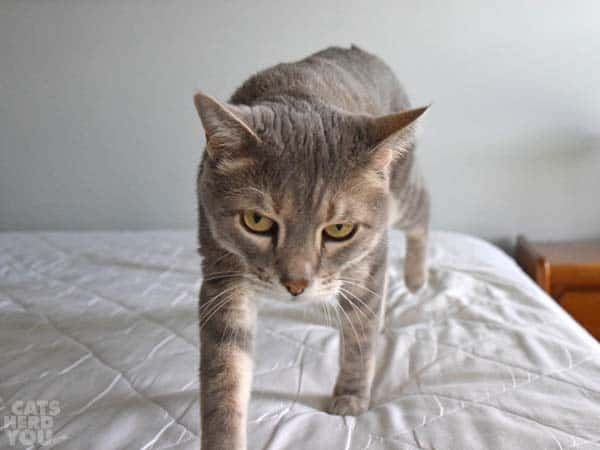 gray tabby cat stalks across unmade bed