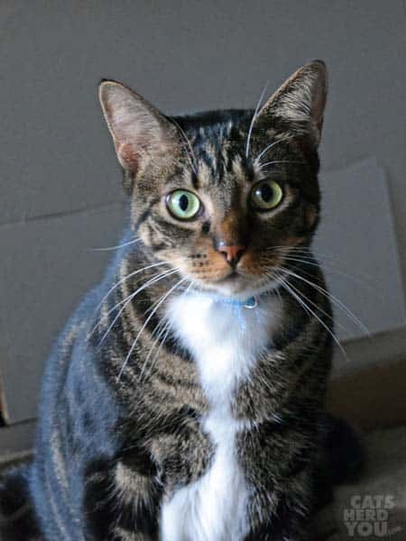 Brown tabby with white chest