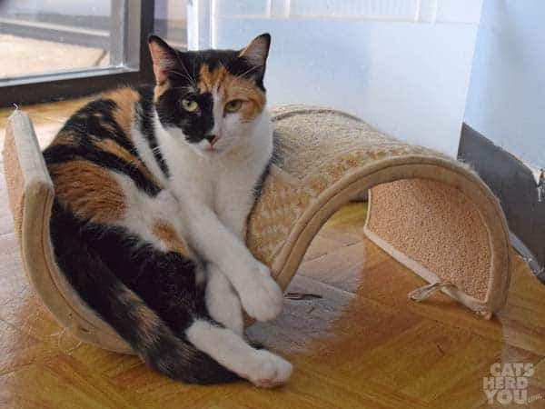 Columbia, a calico cat adoptable from Good Mews Animal Foundation in Atlanta, GA (Marietta)