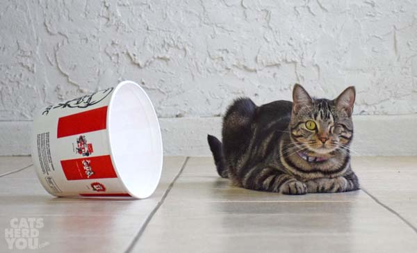 one-eyed brown tabby cat next to kfc bucket