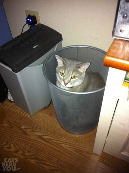 gray tabby cat in trash basket