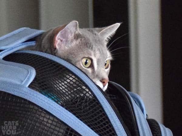 silver cat peeks out of carrier