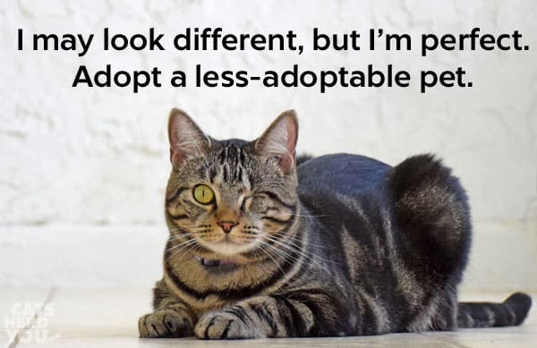 one-eyed brown tabby cat: I may look different, but I'm perfect. Adopt a less-adoptable cat.