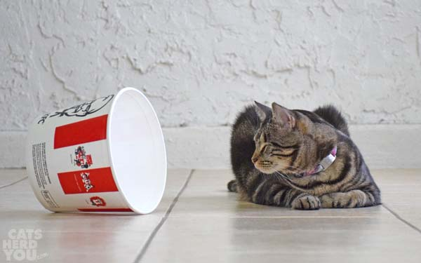 brown tabby cat and the KFC bucket