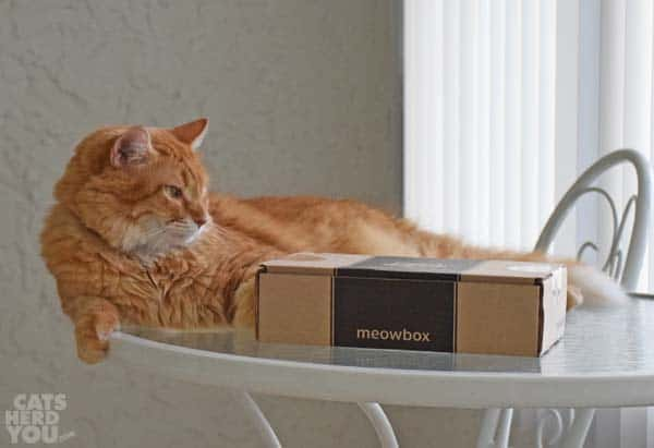 Orange tabby cat and meowbox