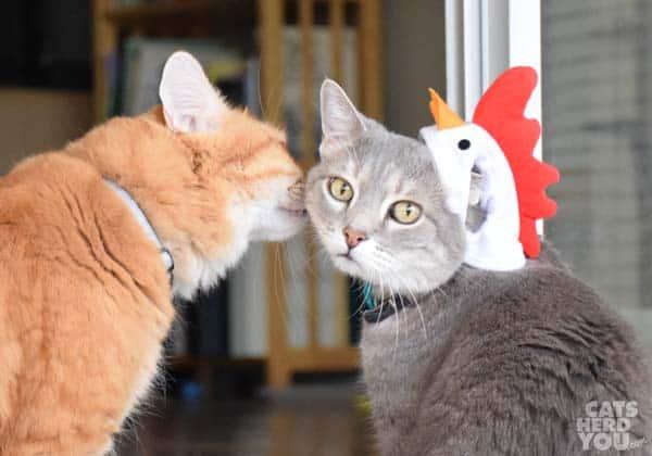 Orange tabby cat sniffs gray tabby cat wearing a chicken hat