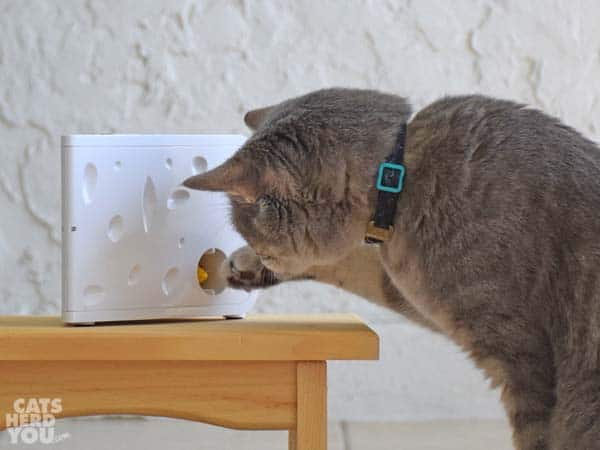Gray tabby cat pats PetSafe Cheese