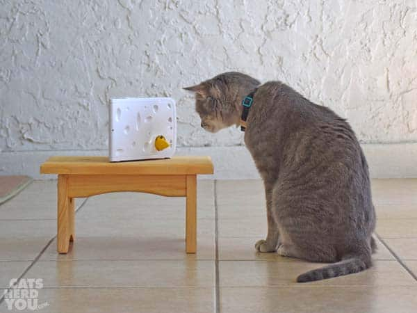 gray tabby cat watches PetSafe Cheese