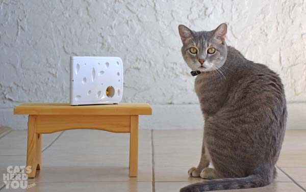 gray tabby cat looks at camera beside PetSafe Cheese
