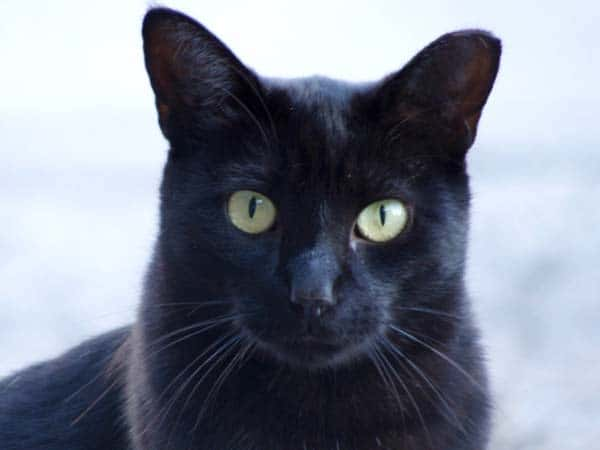 Feral black cat. Photo credit: flickr creative commons/fauxto_digit