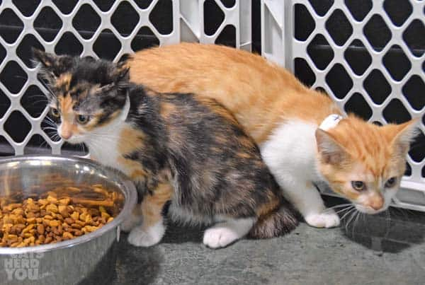 orange and calico kitens
