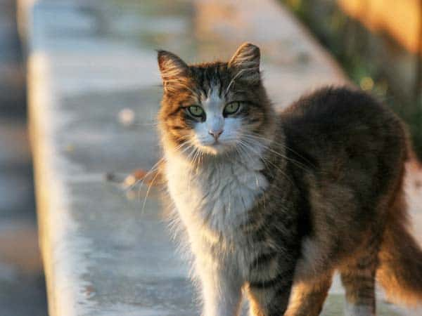 Feral cat, photo credit flickr creative commons/Quinn Dombrowski