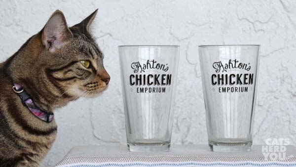 brown tabby cat with Ashton's Chicken Emporium glasses