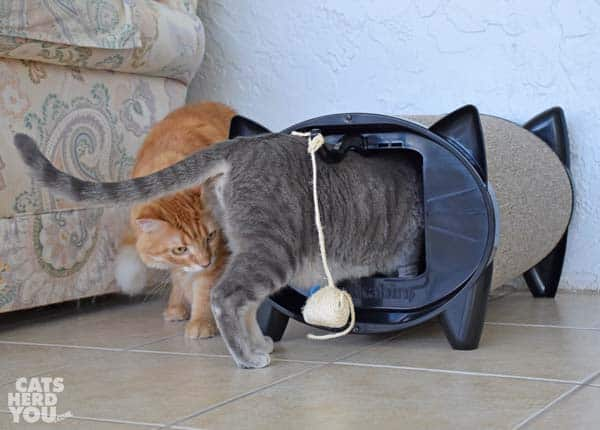 Orange tabby cat watches gray tabby cat enter KatKabin