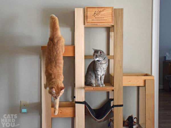 gray tabby cat watches orange tabby cat jump from wine crate cat tree