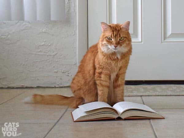 orange tabby cat with book
