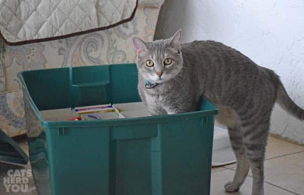 gray tabby cat in holiday decoration box