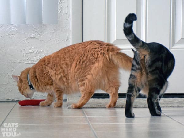 orange tabby cat and brown tabby cat not showing their best sides