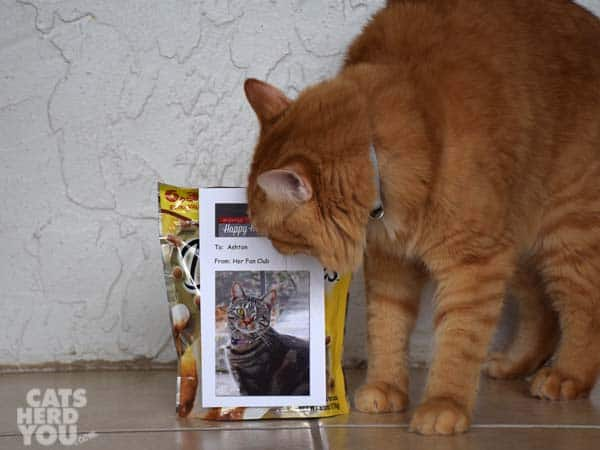 orange tabby cat looks at Ashton's Fan Club sign